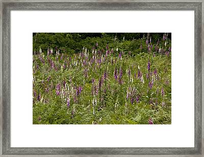 Foxgloves (digitalis Purpurea) Framed Print by Bob Gibbons