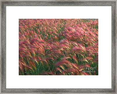 Framed Print featuring the photograph Foxtail Barley by Doug Herr