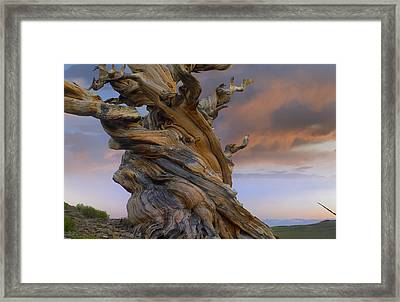Foxtail Pine Tree Twisted Trunk Of An Framed Print