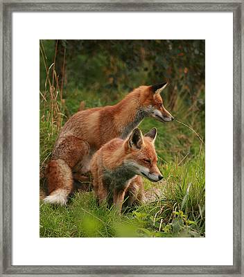Foxy Pair Framed Print by Jacqui Collett