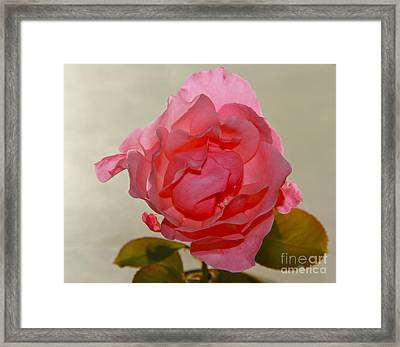 Framed Print featuring the photograph Fragile Pink Rose by Joan McArthur