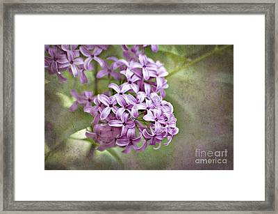 Fragrant Purple Lilac Framed Print by Cheryl Davis