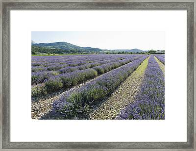 France, Drome, Piegros-la-clastre, Lavender Field Framed Print by Jan Scherders