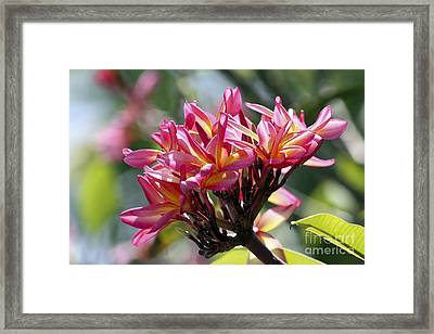 Frangipani Delight Framed Print