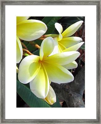 Frangipani Up Close Framed Print by Debi Singer