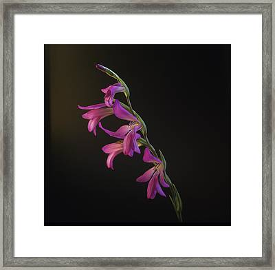 Freesia In The Spotlight Framed Print