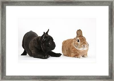 French Bulldog Pup And Rabbit Framed Print