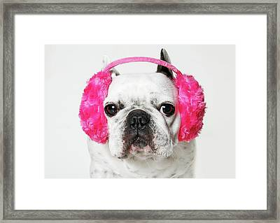 French Bulldog With Ear Roses On White Background Framed Print by Retales Botijero