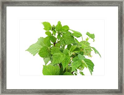 Framed Print featuring the photograph Fresh Green Branches by Aleksandr Volkov