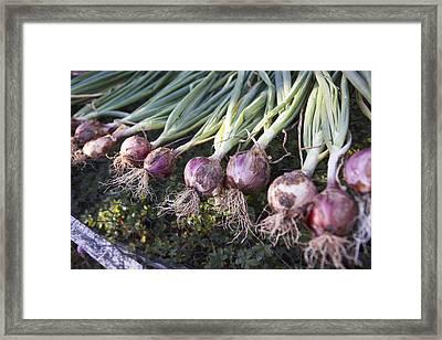 Fresh Onions, Domaine De L'ardagnole, Fajac-en-val, Languedoc-roussillon, France Framed Print