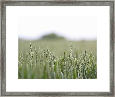 Fresh Wheat Field In Countryside Framed Print by Dougal Waters