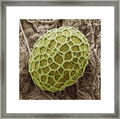 Freshwater Alga, Sem Framed Print by Steve Gschmeissner