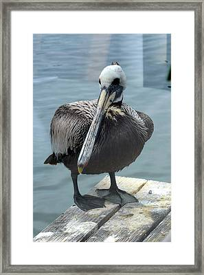 Friendly Pelican Framed Print by Carla Parris