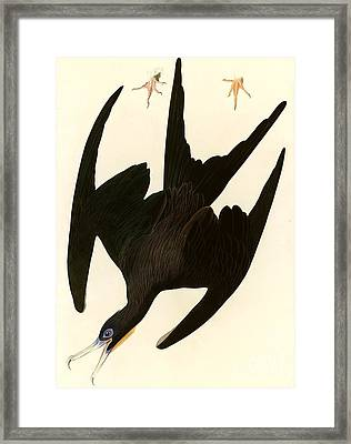 Frigate Bird Framed Print by Pg Reproductions