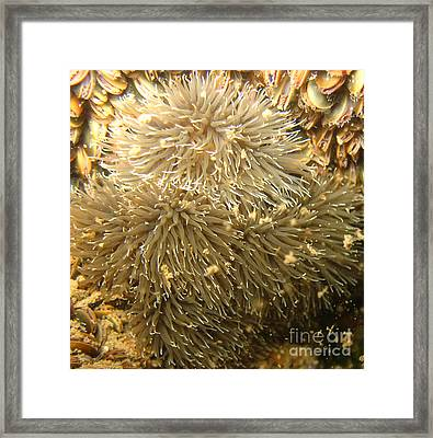Frilled Sea Anemone Framed Print by Paul Ward