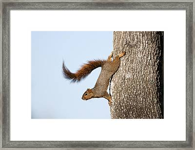 Frisky Little Squirrel With A Twirly Tail Framed Print by Bonnie Barry