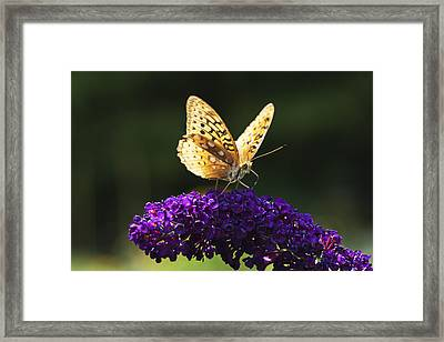 Fritillary Butterfly On Butterfly Bush, Near Madoc, Ontario, Canada Framed Print by Janet Foster