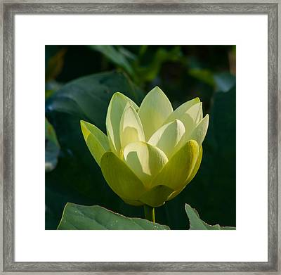 Frog Flowers Framed Print by Toma Caul
