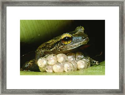 Frog Guarding His Eggs Framed Print by Dante Fenolio