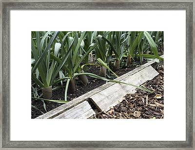 Frog Shelter In A Vegetable Bed Framed Print by Maxine Adcock