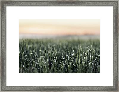 Frost On Tall Grass In Field Framed Print by Manuel Sulzer