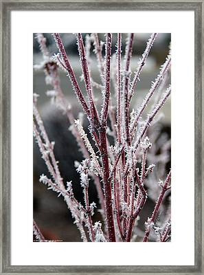 Framed Print featuring the photograph Frosty Coral Maple by Mick Anderson