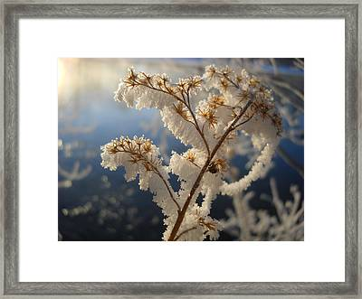 Frosty Dry Wood Aster Framed Print
