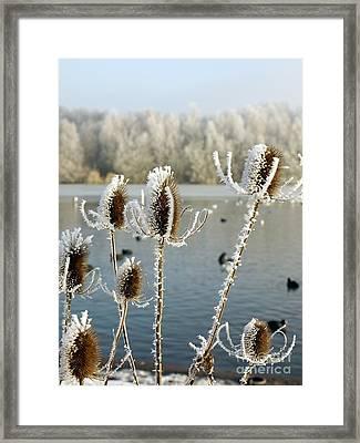 Frosty Teasel Framed Print by John Chatterley