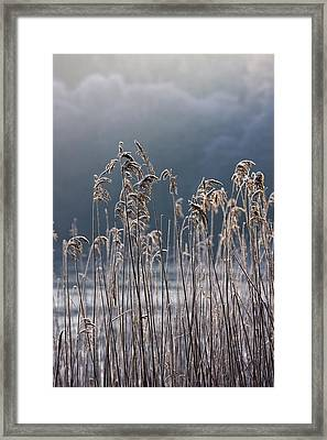 Frozen Reeds At The Shore Of A Lake Framed Print