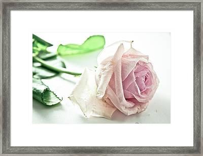 Frozen Rose Framed Print by Dm909