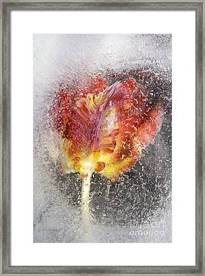 Frozen Tulip 3 Framed Print