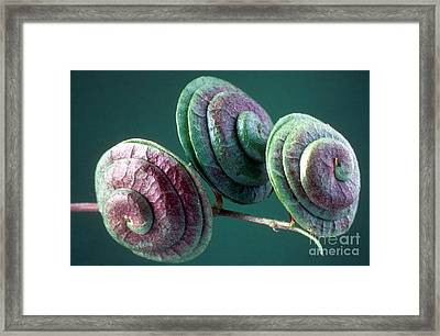 Fruits Of Wild Lucerne Framed Print by Nuridsany et Perennou and Photo Researchers