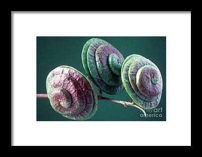 Round-fruited Medick Framed Prints