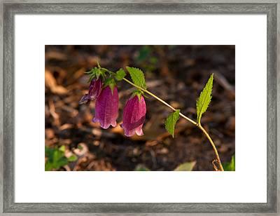Fuchsia Bell Flower  Framed Print by Douglas Barnett