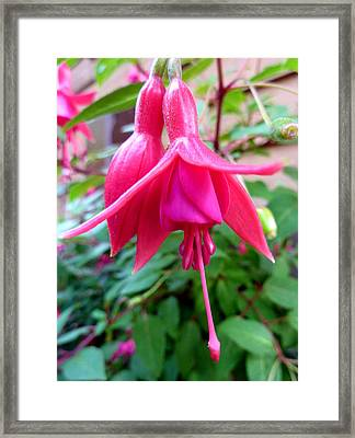Framed Print featuring the photograph Fuchsia Blooms For Two by Cindy Wright