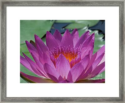 Fuchsia Water Lily Framed Print by Chad and Stacey Hall