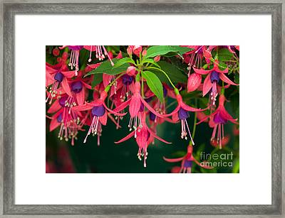 Fuchsia Windchime Flowers Framed Print by Alan and Linda Detrick and Photo Researchers