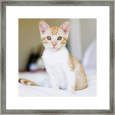 Fuji Kitten Framed Print by Cindy Loughridge