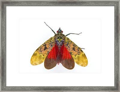 Fulgorid Planthopper Costa Rica Framed Print by Piotr Naskrecki