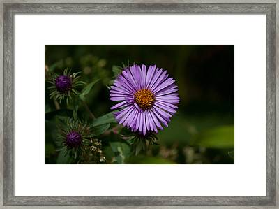Full Aster Framed Print by Jessica Lowell