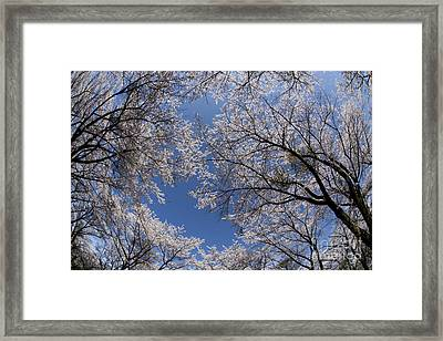 Full Bloomed Sakura Framed Print