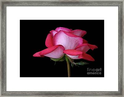 Full Blown Beauty Framed Print