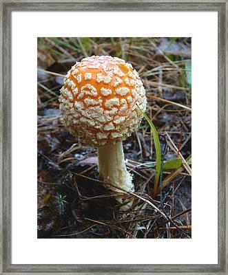 Fungus Fly Amanita Framed Print