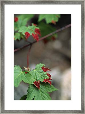 Fungus On Maple Leaf Framed Print