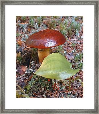 Fungus The Tapering Russula  Latin Name - Russula Saguinea Framed Print