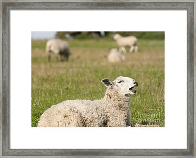 Funny Sheep Framed Print by Andrew  Michael