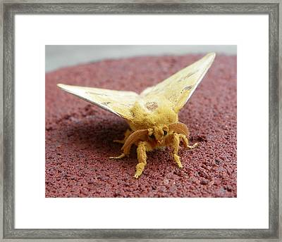 Furry Moth Framed Print by Chad and Stacey Hall