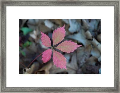 Fushia Leaf 2 Framed Print by Douglas Barnett