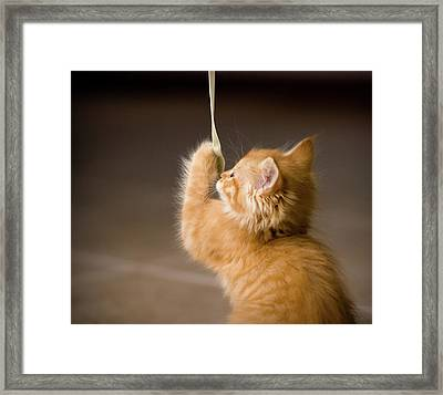 Fuzzy Baby Kitten Playing And Pulling On A Cord Framed Print