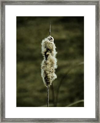 Fuzzy Cattail  Framed Print by Beth Akerman